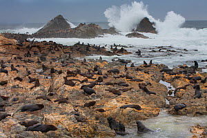 South american sea lion (Otaria byronia) and American fur seal (Arctocephalus australis) hauled out on the shore of Punta Coles Reserve, Peru.  -  Cyril Ruoso