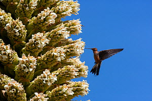 Giant humming bird (Patagona gigas) feeding from Queen of the Andes (Puya raymondii) flowers,  Cordillera Blanca Massif, Andes, Peru, November. - Cyril Ruoso