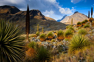 Queen of the Andes (Puya raymondii) Cordillera Blanca Massif, Andes, Peru, November. - Cyril Ruoso