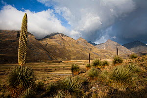 Queen of the Andes (Puya raymondii) plants in steppe, Cordillera Blanca Massif, Andes, Peru, November.  -  Cyril Ruoso