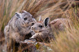 Northern viscacha (Lagidium peruanum) adult and young Cordillera Blanca Massif, Andes, Peru. - Cyril Ruoso