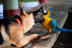 Blue and yellow macaw (Ara ararauna) captive bird playing with German shepherd dog, Amazon, Peru.  -  Cyril Ruoso