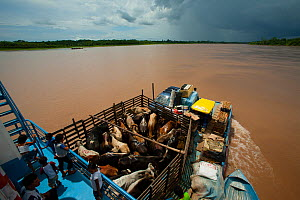 River barge transporting cattle and passengers on Rio Maranon, Amazon River Tributarie, Peru, November 2006. - Cyril Ruoso