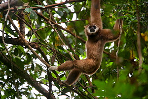 Lar gibbon (Hylobates lar)using arms to swing through trees, Gunung Leuser NP, Sumatra, Indonesia.  -  Cyril Ruoso