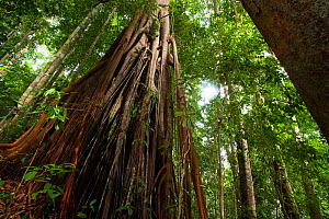 Fig tree (Ficus sp) in rainforest, Bukit Barisan National Park, Sumatra, Indonesia.  -  Cyril Ruoso