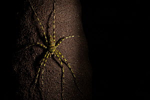 Huntsman spider (Heteropoda boiei) on tree trunk at night,  Way Kambas National Park, Sumatra, Indonesia. - Cyril Ruoso