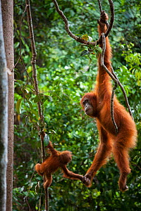 Sumatran orangutan (Pongo abelii) female holding hands with baby whilst hanging from liana. Gunung Leuser National Park, Sumatra, Indonesia. - Cyril Ruoso
