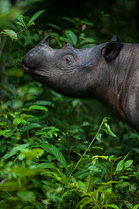 Close up of Sumatran rhinoceros (Dicerorhinus sumatrensis) female feeding, part of a breeding program, Way Kambas National Park, Sumatra, Indonesia.  -  Cyril Ruoso