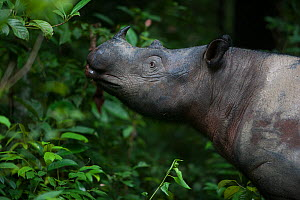Close up of Sumatran rhinoceros (Dicerorhinus sumatrensis) female feeding. This female was acclimatized to humans. It was therefore kept by conservationist in enclosed in 10 hectare rain-forest to pro... - Cyril Ruoso