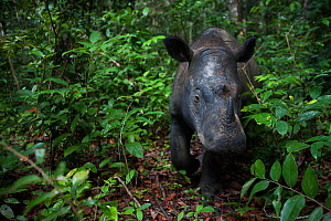 Close up of Sumatran rhinoceros (Dicerorhinus sumatrensis) female  close up,  part of a breeding program, Way Kambas National Park, Sumatra, Indonesia.  -  Cyril Ruoso