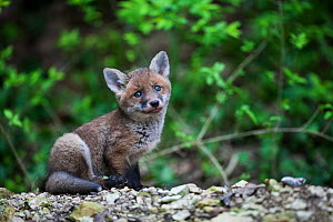 Red fox (Vulpes vulpes) cub, Burgundy, France, May. - Cyril Ruoso