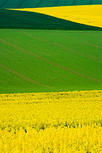 Oilseed rape (Brassica napus) fields in flower, Burgundy, France, May. - Cyril Ruoso