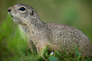 Tien Shan ground squirrel (Spermophillus relictus ralli) near Yssyk-kol lake, Kyrgyzstan.  -  Cyril Ruoso