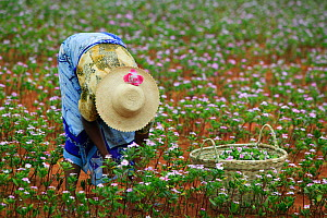 Woman collecting Madagascar periwinkle (Catharanthus roseus) flowers and leaves, used in herbal medicine, and containing molecules which are used in the treatment of leukemia. Berenty, Madagascar.  -  Cyril Ruoso