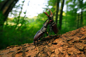 Stag beetles (Lucanus cervus) males fighting, Burgundy, France, July. - Cyril Ruoso
