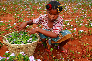 Woman collecting Madagascar periwinkle (Catharanthus roseus) flowers and leaves, used in herbal medicine, and containing molecules which are used in the treatment of leukemia cancer. Berenty, Madagasc... - Cyril Ruoso
