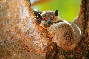 White-footed sportive lemur (Lepilemur leucopus) with large eyes, resting during the day, Madagascar. - Cyril Ruoso