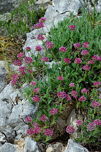 Mountain kidney vetch flowers (Anthyllis montana) Drome, France, May  -  Loic  Poidevin