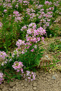 Common soapwort (Saponaria officinalis) in flower, Morbihan, France, July.  -  Loic  Poidevin