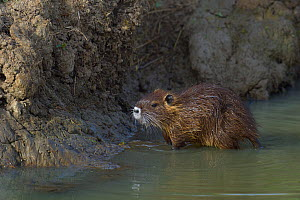Coypu (Myocastor coypus) young in water. Vendeen Marsh, France, July. Invasive species. - Loic  Poidevin