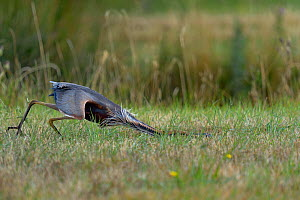 Purple heron (Ardea purpurea) hunting in grass, Vendeen Marsh, France, July  -  Loic  Poidevin