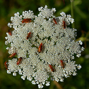 Common red soldier beetles (Rhagonicha fulva) on Wild carrot (Daucus carota) Vendee, France, June  -  Loic  Poidevin