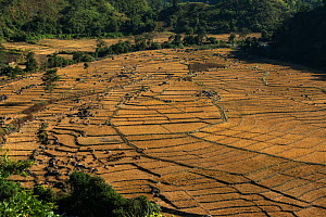 Nyshi rice paddies.Yazali Village, Nyshi Tribe, Arunachal Pradesh, North East India, November 2014. - Pete Oxford