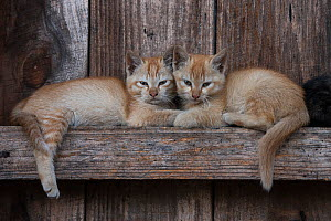 Kittens resting on beams. These animals are kepts as pets but sometimes eaten in the Apatani Tribe, Ziro Valley, Himalayan Foothills, Arunachal Pradesh, North East India. November 2014. - Pete Oxford