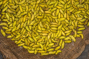 Silkworms (Bombyx mori) for sale in market for food, Apatani Tribe, Ziro Valley, Himalayan Foothills, Arunachal Pradesh.North East India, November 2014.  -  Pete Oxford