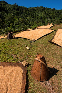 Grain laid out to dry on mats, Adi Gallong Tribe. Arunachal Pradesh.North East India. October 2014. - Pete Oxford