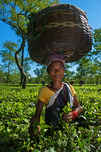 Woman with basket on her head picking tea (Camellia sinensis), Assam, North East India, October 2014. - Pete Oxford