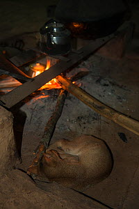 Konyak Naga cat sleeping next to fire, Mon district. Nagaland,  North East India, October 2014. - Pete Oxford