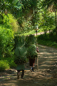 Konyak Naga women carrying palm leaves to be used for roofing. Mon district. Nagaland,  North East India, October 2014.  -  Pete Oxford