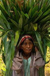 Konyak Naga woman carrying palm leaves to be used for roofing. Mon district. Nagaland, North East India, October 2014.  -  Pete Oxford