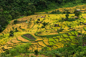 Konyak Naga rice terraces. Mon district. Nagaland,  North East India, October 2014.  -  Pete Oxford