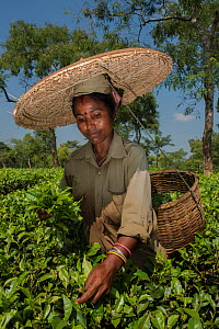 Tea picker, collecting  Tea leaves  (Camelia sinensis) wearing large straw hat, Assam, North East India, October 2014. - Pete Oxford