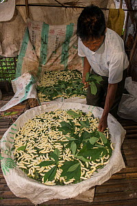 Man feeding Silk worms (Bombyx mori) raised for silk, Khasi Tribe. Meghalaya, North East India, October 2014.  -  Pete Oxford