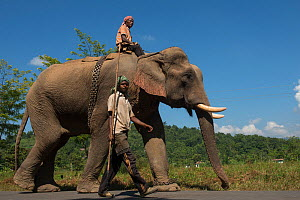 Naga tribe mahouts with Domestic Asian elephant (Elephas maximus) used for transporting logs, Nagaland, North East India, October 2014.  -  Pete Oxford