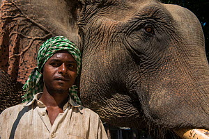 Naga tribe mahout with Domestic Asian elephant (Elephas maximus) used for transporting logs, Nagaland, North East India, October 2014.  -  Pete Oxford