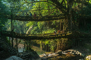 Double living root bridge formed from the roots of Rubber fig tree (Ficus elastica). Made by the Khasi Tribe, Meghalaya, North East India, October 2014.  -  Pete Oxford