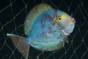 Yellowmask surgeonfish (Acanthurus mata), caught in fishing net. Indonesia, tropical Pacific Ocean. - Brandon Cole