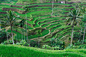 Rice terraces, Bali. Indonesia. September 2007.  -  Brandon Cole
