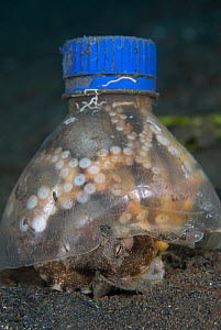 Veined octopus (Octopus marginatus) hiding under plastic bottle. Note that it is brooding eggs (top center left) Indonesia, tropical Pacific Ocean. - Brandon Cole