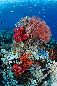 Colorful shallow bombora (submerged rock shelves) with Blue starfish (Linckia laevigata) Soft corals (Dendronephthya sp.) and Sea fans (Melithaea), sponges, tunicates and more. Komodo National Park, I... - Brandon Cole