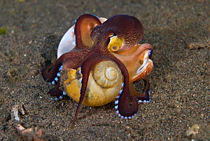 Juvenile Veined octopus (Amphioctopus marginatus) walking along carrying empty snail shells to hide in. Indonesia, tropical West-Pacific Ocean. - Brandon Cole