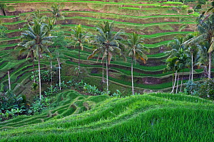 Rice terraces, Bali. Indonesia, September 2007.  -  Brandon Cole