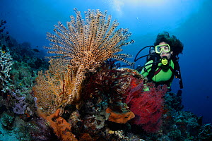 Scuba diver looking at coral reef, including a Legless feather star (Comanthus alternans) and other sea fans, and sponges. Komodo National Park, Indonesia, tropical Indo-Pacific oceans. September 2007...  -  Brandon Cole