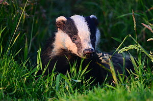 Badger (Meles meles) with face lit up at sunset. Dorset, UK July.  -  Colin Varndell