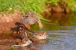 House sparrow (Passer domesticus) drinking and bathing at edge of pond, Somerset, UK, June.  -  Michael W. Richards