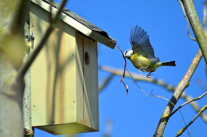Blue tit (Cyanistes caeruleus) in flight carrying grass to make nest in nest box, Somerset, UK, April.  -  Michael W. Richards